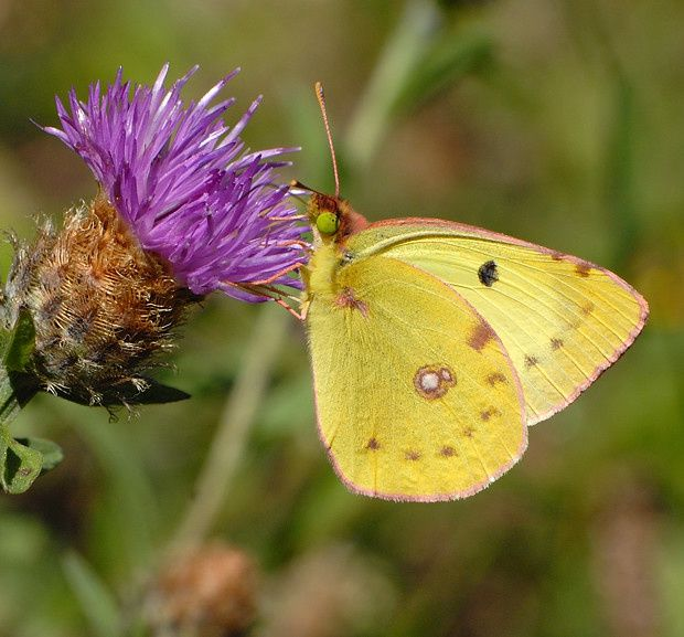Colias alfacariensis hyale2 20110811