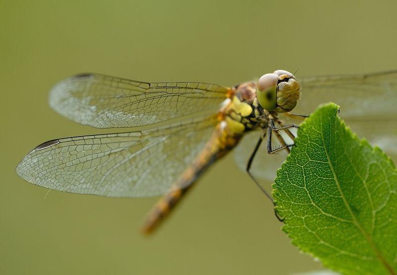 Sympetrum striolatum8 20120610