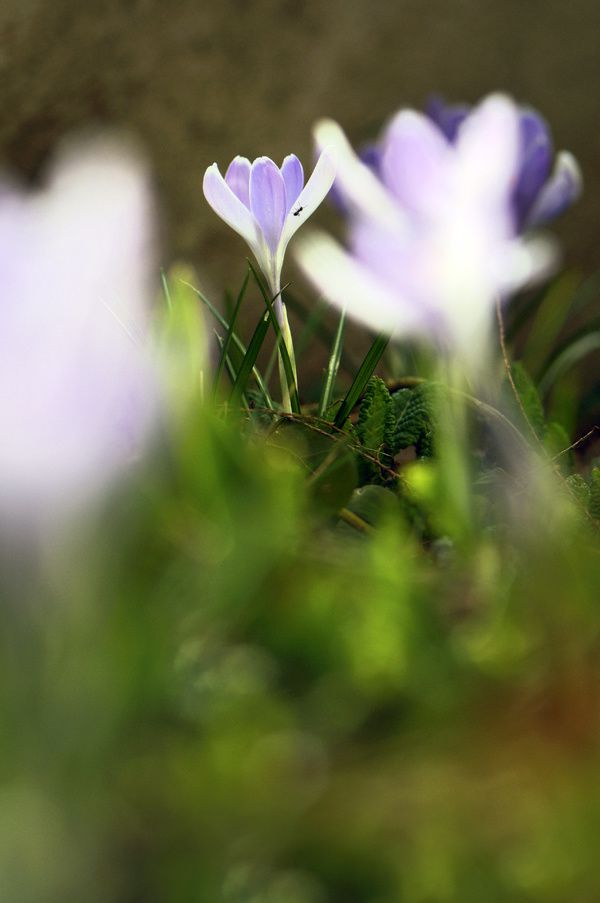 crocus-blanc-copie-1.jpg