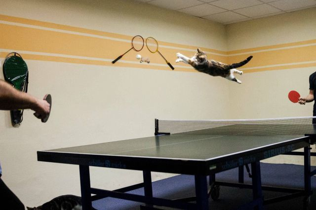 chat-joue-au-ping-pong.jpg