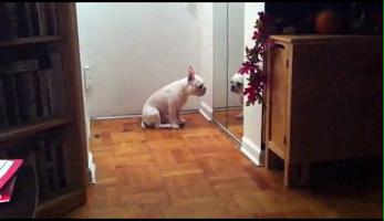 Bulldog---Adele.png