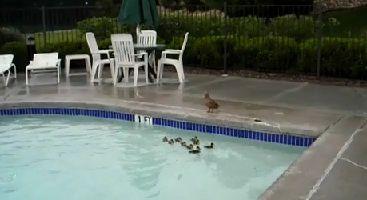Canetons-coinces-dans-la-piscine.jpg