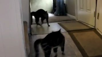 Chat-VS-Miroir.jpg