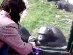 Chimpanze-curieux.jpg