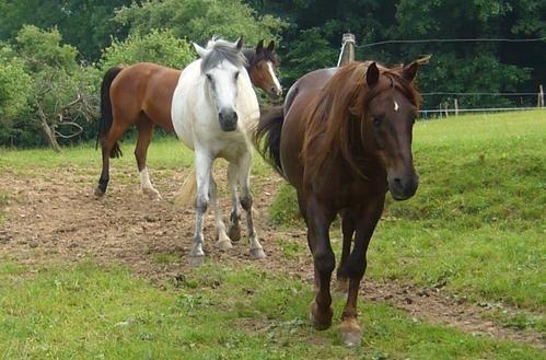 chevaux et vaches écossaisesphotos philae (jo)
