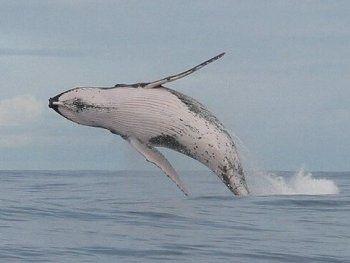saut-baleine-a-bosse.jpg