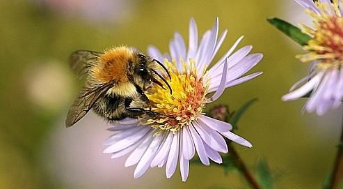 animal insecte abeille