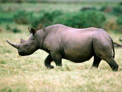 animal rhinoceros 987