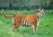 animal-tigre.jpg