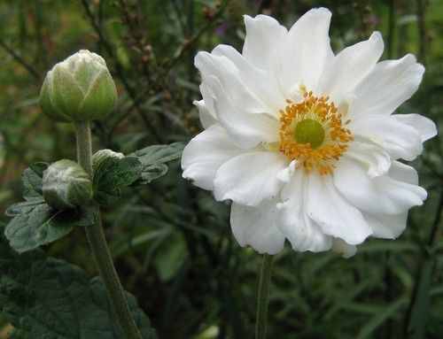 anemone-japonica-Whirlwind-2-sept-11.JPG