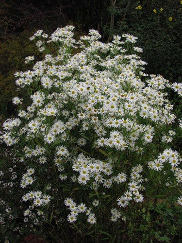 boltonia-asteroides-Snowbank-12-oct-11.JPG
