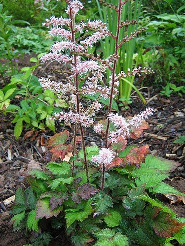 astilbe arendsii Color Flash 14 aout 10
