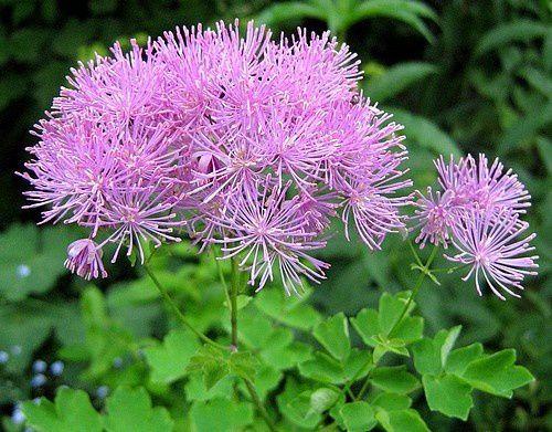 thalictrum-aquilegifolium-Purpureum-10-mai-09.jpg