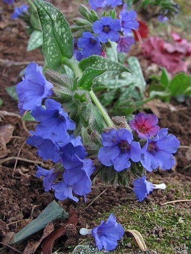 pulmonaria-fleurs-bleu-gentiane-23-mars-12.JPG