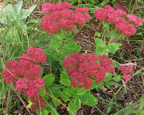 sedum-Jaws-29-sept-12.jpg