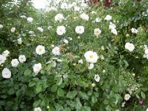 Fleurs du jardin de Geneviève
