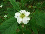 tn-fleur-de-neflier-visoflora-83562.jpg