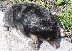 250px-European_mole_animal.jpg