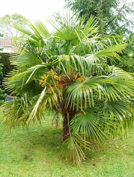 visite au jardin au coeur de notre palmier en fleurs le blog de lanourse. Black Bedroom Furniture Sets. Home Design Ideas