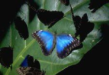 blue_20morpho_20butterflies_20_reduced_