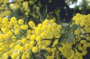 mimosa (source internet)