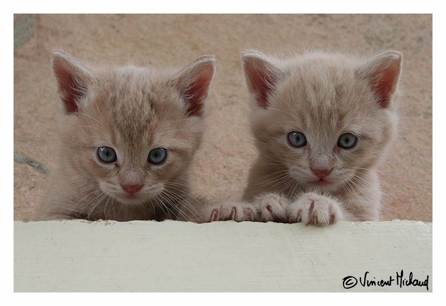 Chatons - Les 2 frères