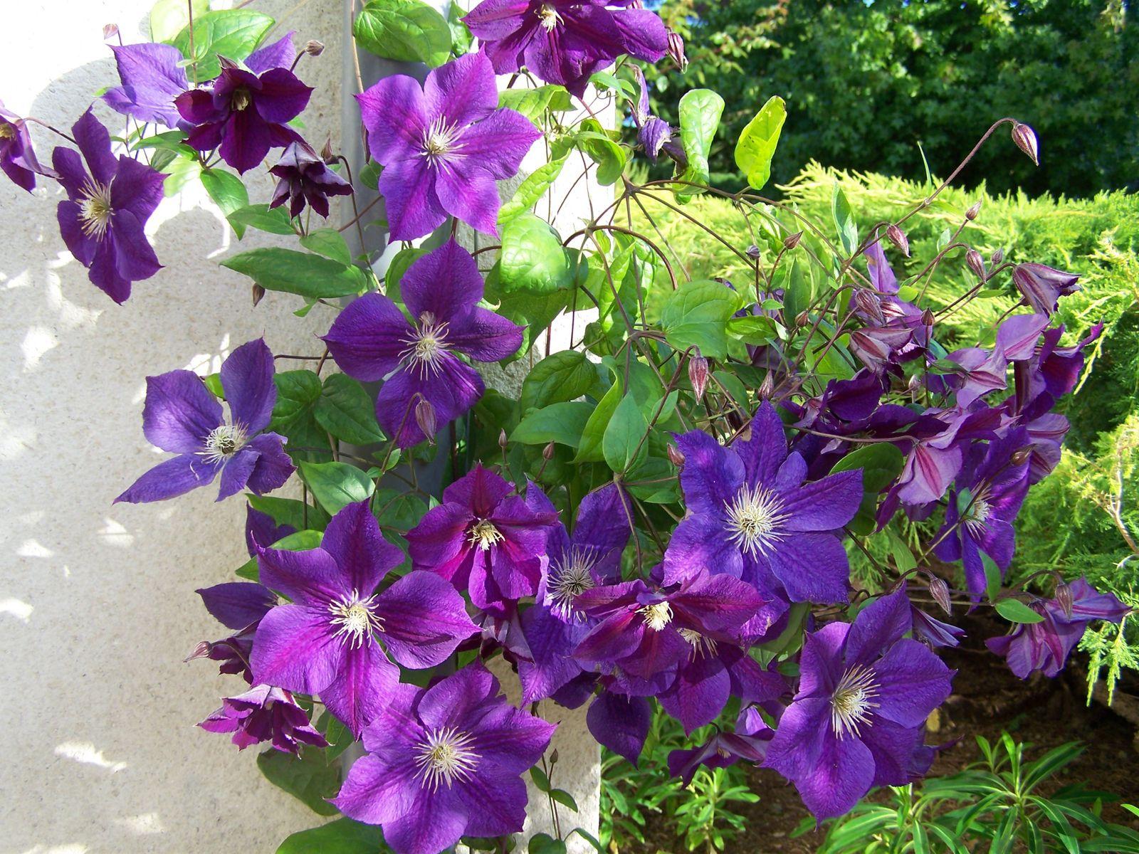 Les Grimpantes Fleurs Et Jardins De Rhuys