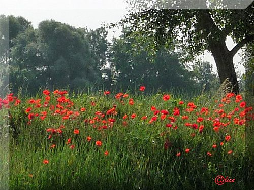 N-1-coquelicots.jpg