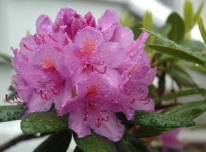 rhododendron-i-1284534909.jpg