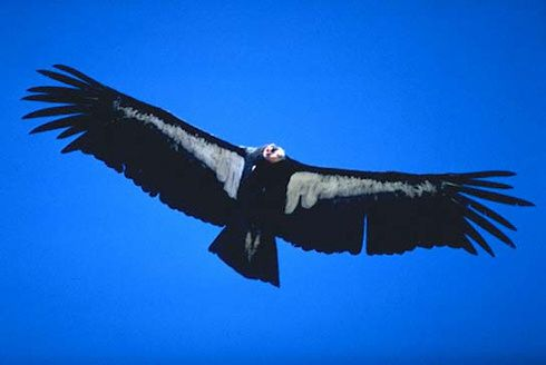 Condor-de-Californie-vol.jpg