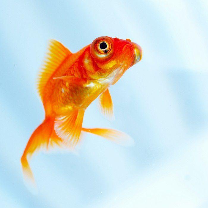 Le prozac dans les eaux peut entraver la reproduction des for Reproduction poisson rouge