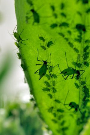 SIMON-FRASER-SCIENCE-PHOTO-LIBRARY-Aphids.jpg