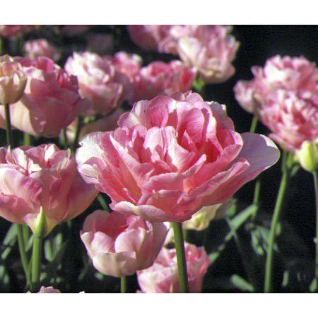 tulipe-angelique-turc