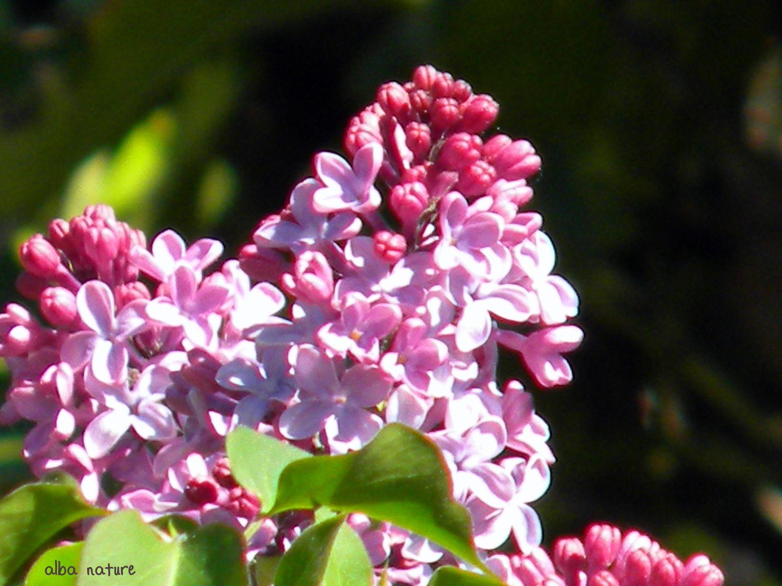 lilas, floraison avril 2011