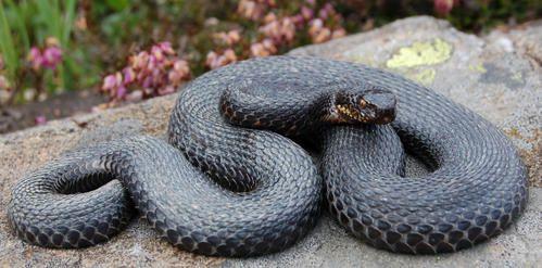Serpenti neri melanismo e melanotismo serpenti del ticino for Serpente nero italiano