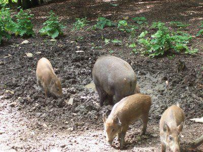 wildschweine beim brechen ueberlauefer und frischlinge