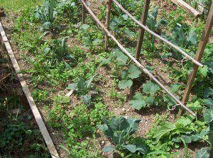Junge Gurken und Kohlpflaenzchen mit Unkraut