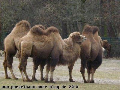 Kamele20140215 026