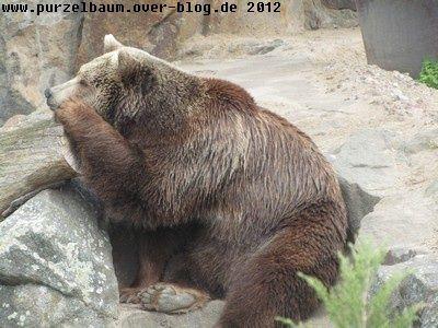 Braunbär20120418 012