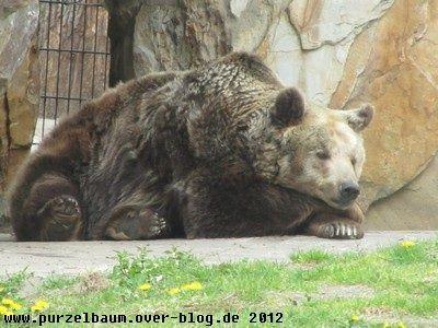 Braunbär20120426 013