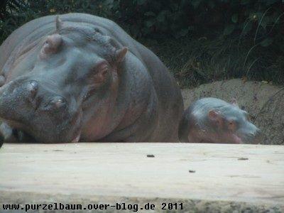 Hippos20111031 002