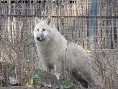 Polarwolf20111102 018