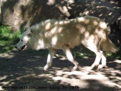 Polarwolf20140503 026