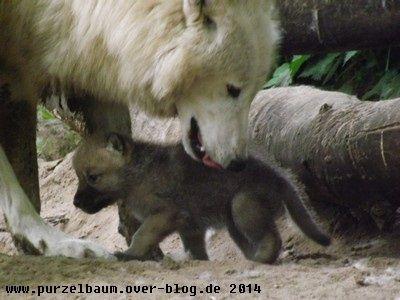 Polarwölfe20140524 067