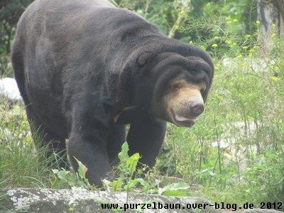 Malaienbär20120731 011