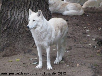 Polarwolf20121010 011