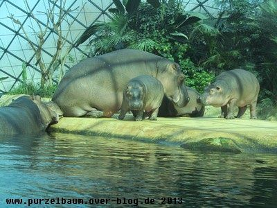 Nilpferde20130325 011
