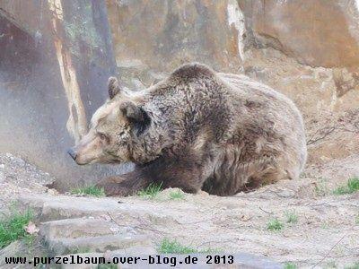 Braunbär20131217 001