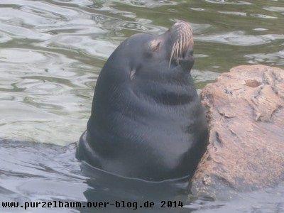 Seelöwe20140106 008