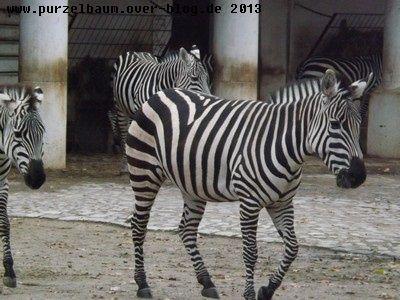 Zebras20131201 020